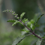 Organic Home Grown Holy Basil to relieve stress