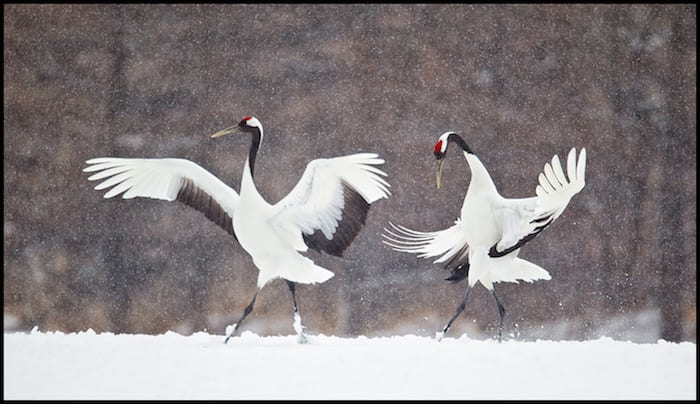 Winter Adventure With Japanese Dancing Cranes