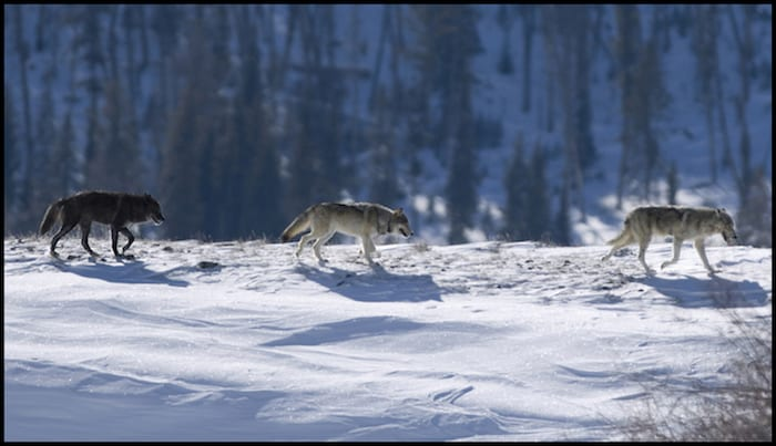 Wolf Tracking Winter Adventure
